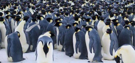 pinguino-emperador21